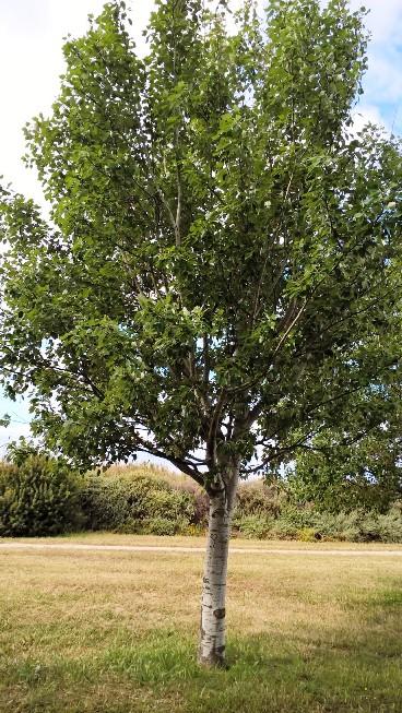 albero in città