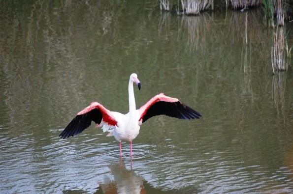 Fenicottero rosa ad ali aperte - Copia