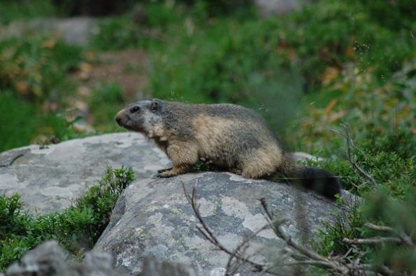 Marmotta - Copia