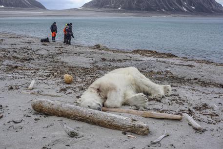 Orso polare ucciso